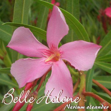 "Oleander ""Belle Helene"" - Nerium oleander - Größe C08"