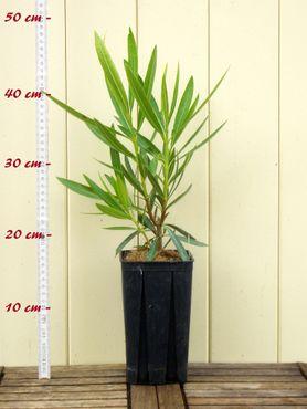 """Oleander """"Cheyenne"""" - Nerium oleander - Größe C1,4 im Rechtecktopf"""