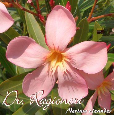 "Oleander ""Dr. Ragioneri"" - Nerium oleander - Größe C03"