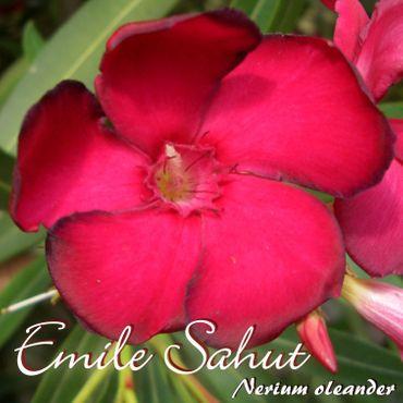 """Oleander """"Emile Sahut"""" - Nerium oleander - Größe C1,4 im Rechtecktopf"""
