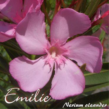 "Oleander ""Emilie"" - Nerium oleander - im 33 cm Dekokübel"