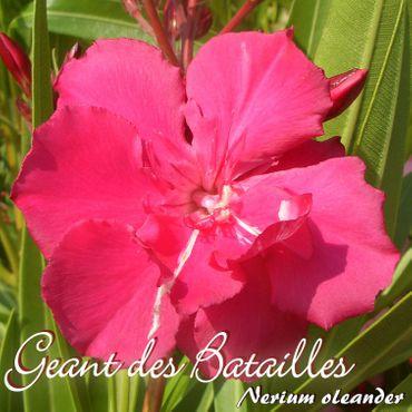 """Oleander """"Geant des Batailles"""" - Nerium oleander - Größe C03 als Stämmchen im Dekotopf"""