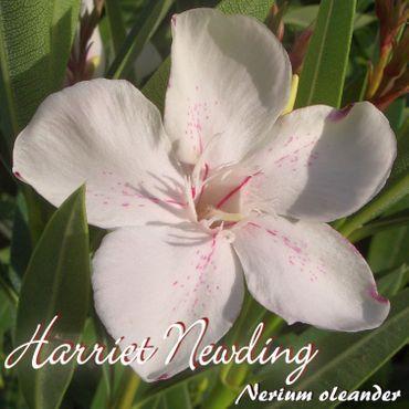 """Oleander """"Harriet Newding"""" - Nerium oleander - Größe C15"""