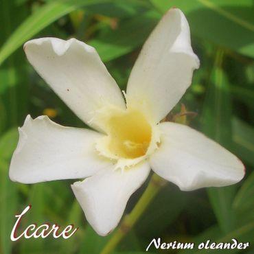 "Oleander ""Icare"" - Nerium oleander - Größe C1,4 im Rechtecktopf"