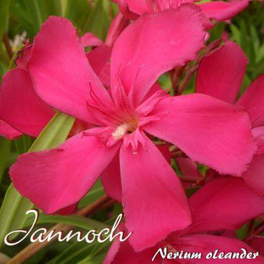 "Oleander ""Jannoch"" - Nerium oleander - Größe C03"