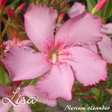 "Oleander ""Lisa"" - Nerium oleander - Größe C03"