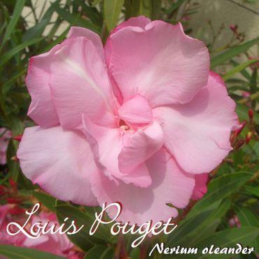 """Oleander """"Louis Pouget"""" - Nerium oleander - Größe C03"""