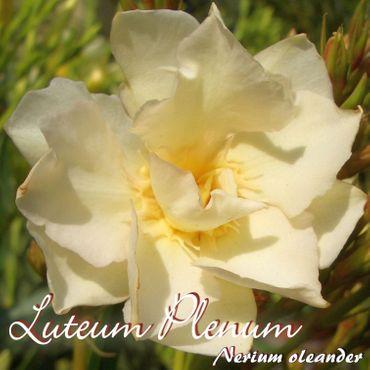 """Oleander """"Luteum Plenum"""" - Nerium oleander - Größe C03 als Stämmchen im Dekotopf"""