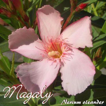 "Oleander ""Magaly"" - Nerium oleander - Größe C15"