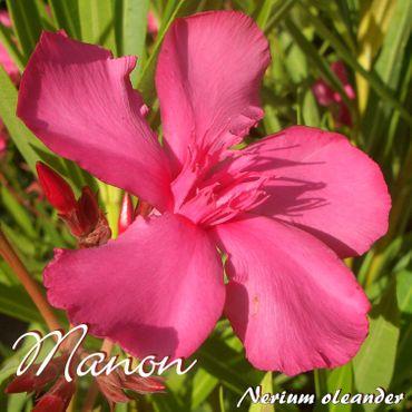 "Oleander ""Manon"" - Nerium oleander - Größe C08"