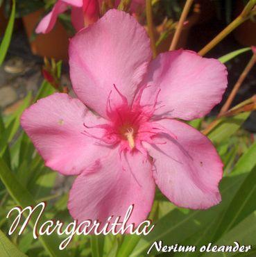 "Oleander ""Margaritha"" - Nerium oleander - Größe C15"