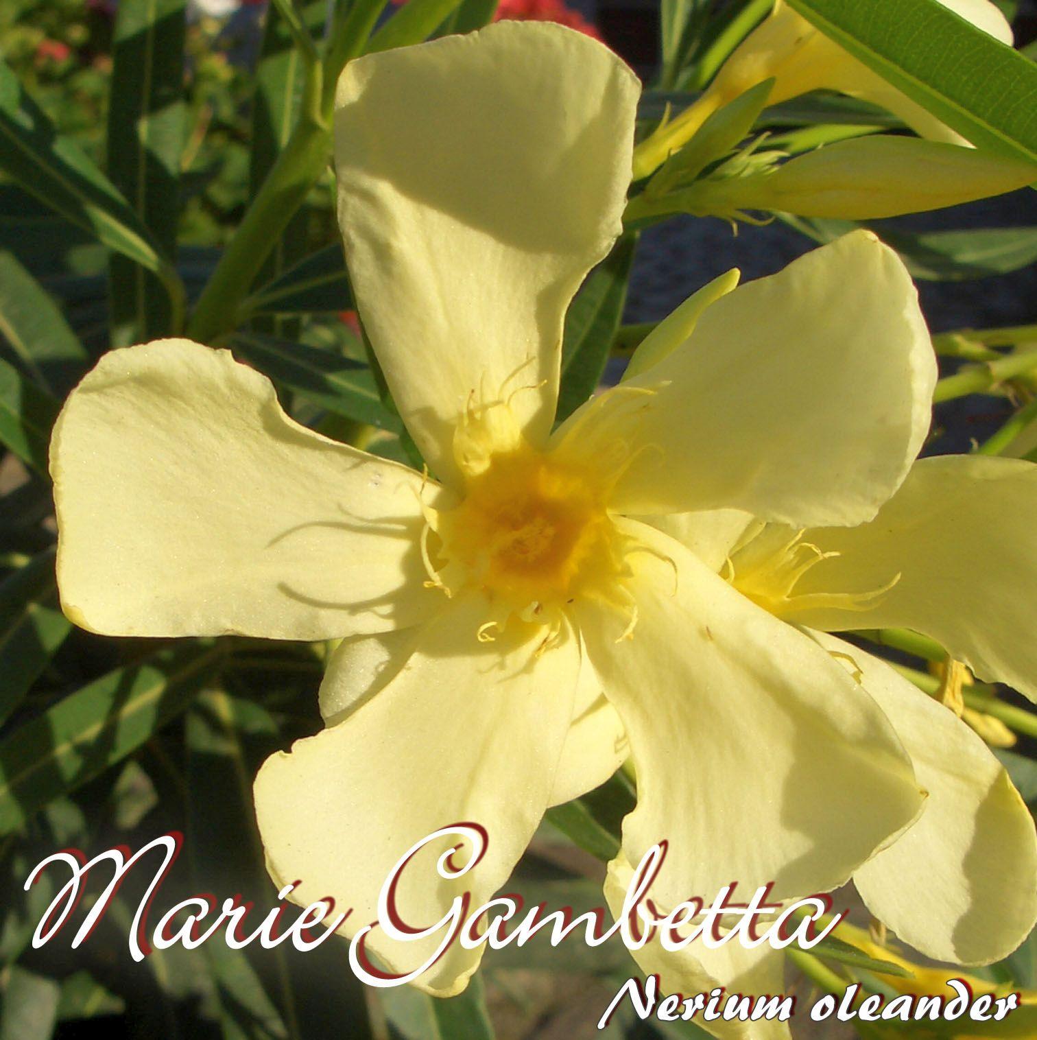 """Nerium oleander Oleander /""""Papa Gambetta/"""" Größe C15"""