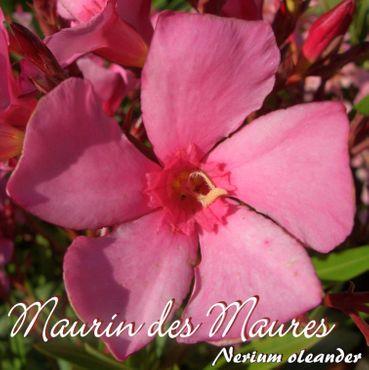 """Oleander """"Maurin des Maures"""" - Nerium oleander - Größe C03"""