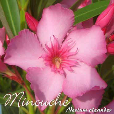 """Oleander """"Minouche"""" - Nerium oleander - Größe C1,4 im Rechtecktopf"""