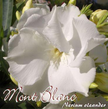 "Oleander ""Mont Blanc"" - Nerium oleander - Größe C15"