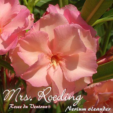 """Oleander """"Mrs. Roeding / Rosee du Ventoux®"""" - Nerium oleander - Größe C03"""