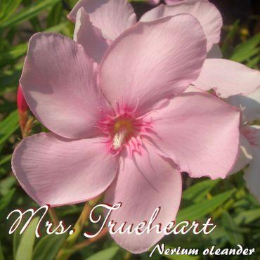 """Oleander """"Mrs. Trueheart"""" - Nerium oleander - Größe C1,4 im Rechtecktopf"""