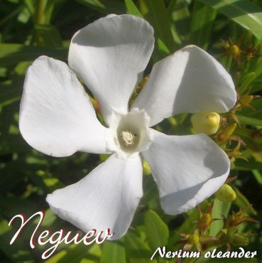 """Oleander """"Neguev"""" - Nerium oleander - Größe C08"""