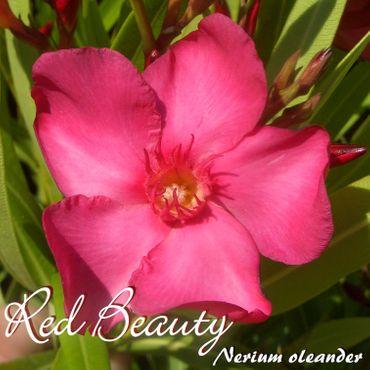 "Oleander ""Red Beauty"" - Nerium oleander - Größe C1,4 im Rechtecktopf"