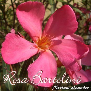 "Oleander ""Rosa Bartolini"" - Nerium oleander - Größe C03"