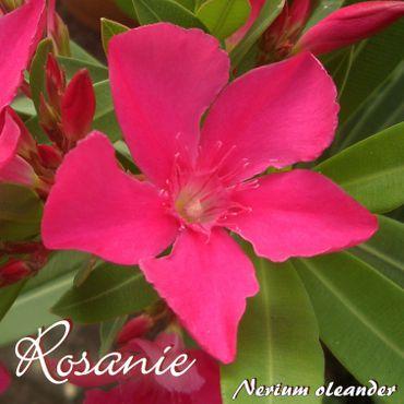 "Oleander ""Rosanie"" - Nerium oleander - Größe C03"