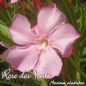 """Oleander """"Rose des Vents"""" - Nerium oleander - Größe C03"""