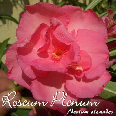 "Oleander ""Roseum Plenum"" - Nerium oleander - Größe C06 im Dekotopf"