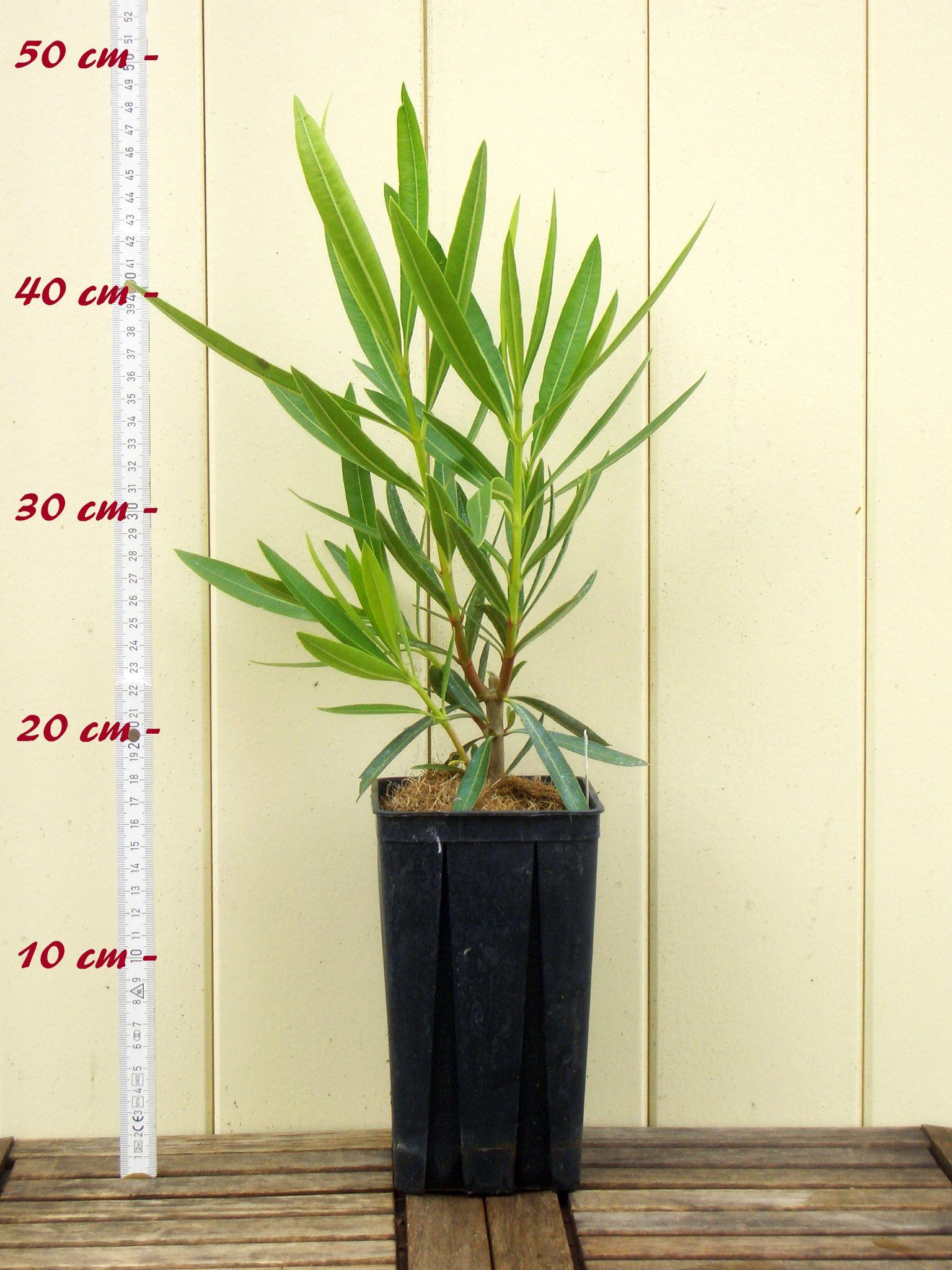 """Nerium Taille C1,4 dans Rechtecktopf Laurier-Rose /"""" Sealy Rose /"""""""