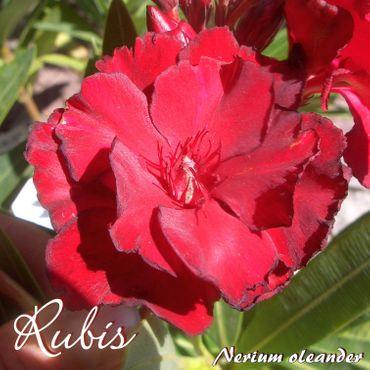 "Oleander ""Rubis"" - Nerium oleander - Größe C08"