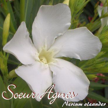 """Oleander """"Soeur Agnes"""" - Nerium oleander - Größe C06 im Dekotopf"""