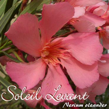 """Oleander """"Soleil Levant"""" - Nerium oleander - Größe C1,4 im Rechtecktopf"""