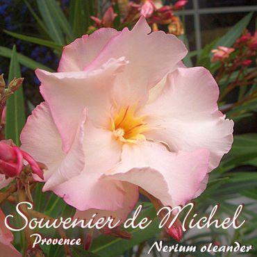 """Oleander """"Souvenier de Michel / Provence"""" - Nerium oleander - Größe C08"""
