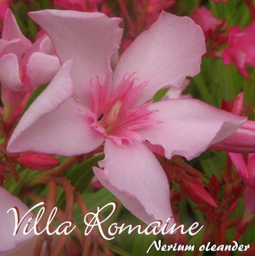 "Oleander ""Villa Romaine"" - Nerium oleander - Größe C03"