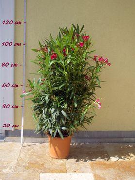"Oleandermix ""Multicolor"" - Nerium oleander - Größe C06 im Dekotopf"