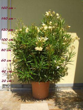 "Oleandermix ""Multicolor"" - Nerium oleander - im 33 cm Dekokübel"