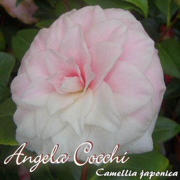 "Kamelie ""Angela Cocchi"" - Camellia japonica - 6 bis 7-jährige Pflanze"