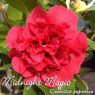 "Kamelie ""Midnight Magic"" - Camellia japonica - 6 bis 7-jährige Pflanze"