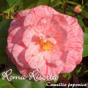 "Kamelie ""Roma Risorta"" - Camellia japonica - 7 bis 8-jährige Pflanze"