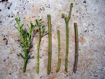 "Oleander ""Luteum Plenum"" Stecklinge - Nerium oleander - min. 3 Stück"