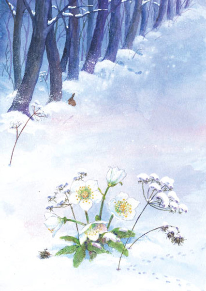 Postkarte: Christrose