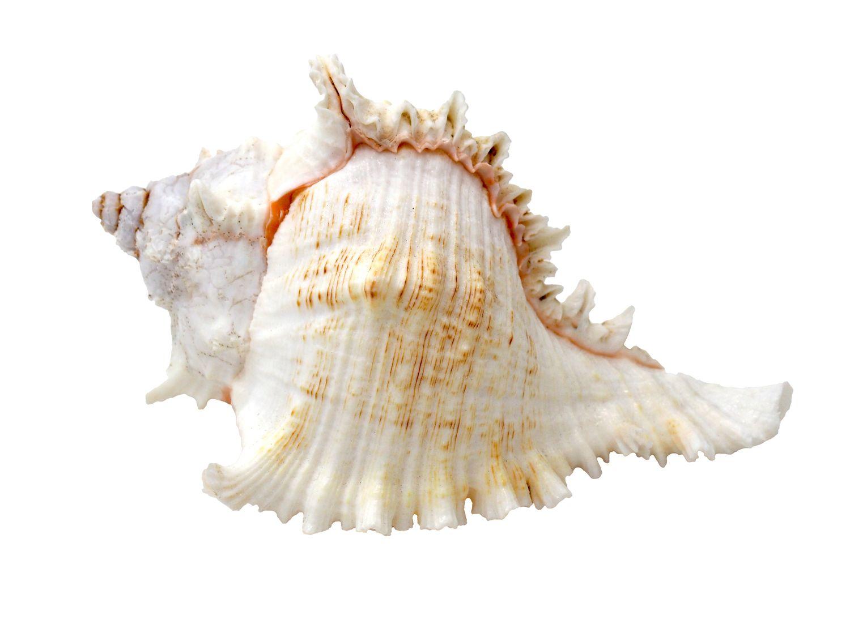 Muschel Schnecke Murex ramosus Stachelschnecke Deko Maritim Tischdeko Aquarium