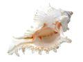 Muschel Schnecke Murex ramosus Stachelschnecke Deko Maritim Tischdeko Aquarium  1