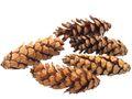 5x Zapfen Tannenzapfen Strobus Braun Deko Natur Tischdeko Weihnachten Advent Basteln Herbst 1