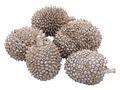 5 Jackfruit Getrocknet Jakobsfrucht 8-12 cm Naturdeko Tischdeko 001
