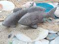 Fisch Deko Figur Silber Grau Weiß Glänzend Dick Lang Tischdeko Maritim Deko 2 Stück 7
