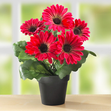 Gerbera en pot, rouge
