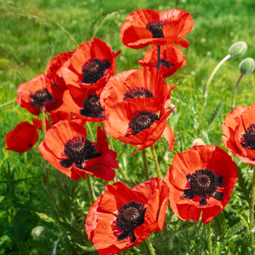 Oosterse papaver »Beauty of Livermere«