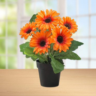 Gerbera in pot