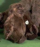 FÖRSTER Gorilla groß 40cm #1740