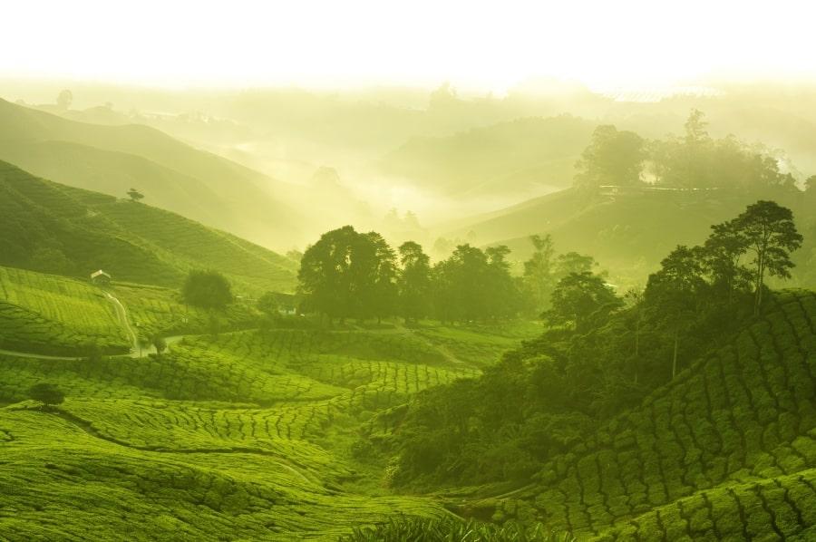 Das Epigallocatechingallat aus dem grünen Tee sorgt dafür, dass sich weniger giftige Eiweiße bilden, die die Nervenzellen bei Demenz und Morbus Parkinson vernichten.